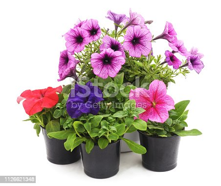 Colorful petunia in the pot isolated on a white background.
