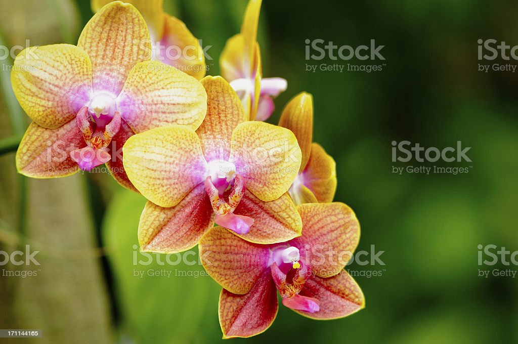 Colorful phalaenopsis orchid royalty-free stock photo