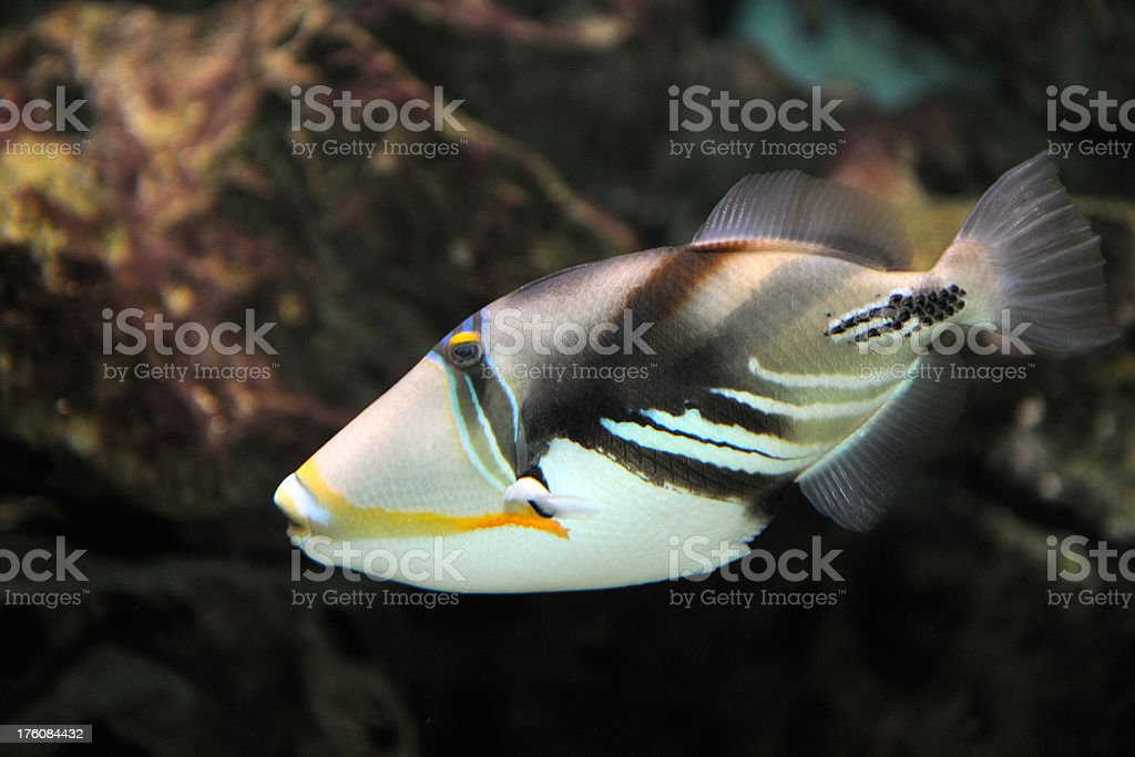 Colorful Picasso Triggerfish in the Ocean stock photo