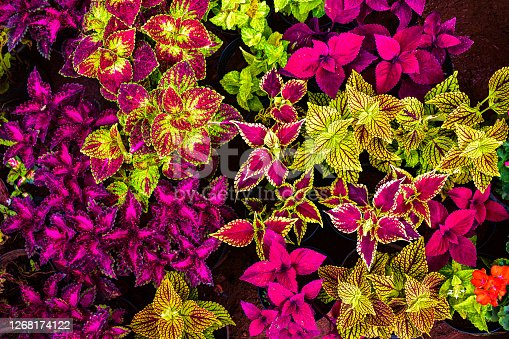 Colorful picture of different coleus leaves with borders of different colors making it the best background