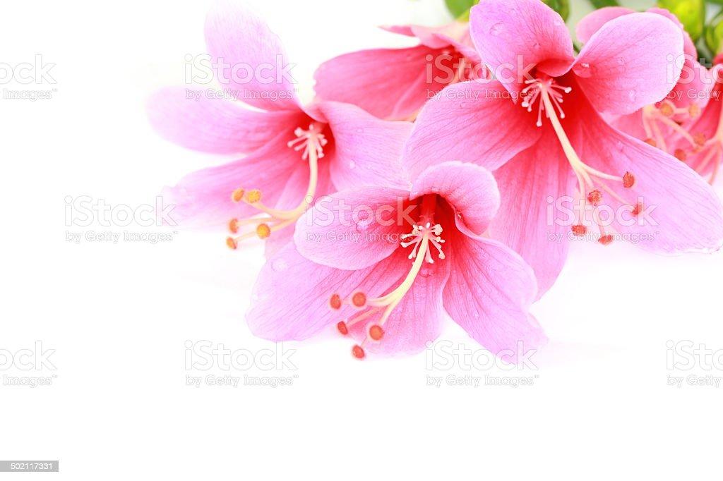 鮮やかなピンクのハイビスカスの花の白い背景に ストックフォト