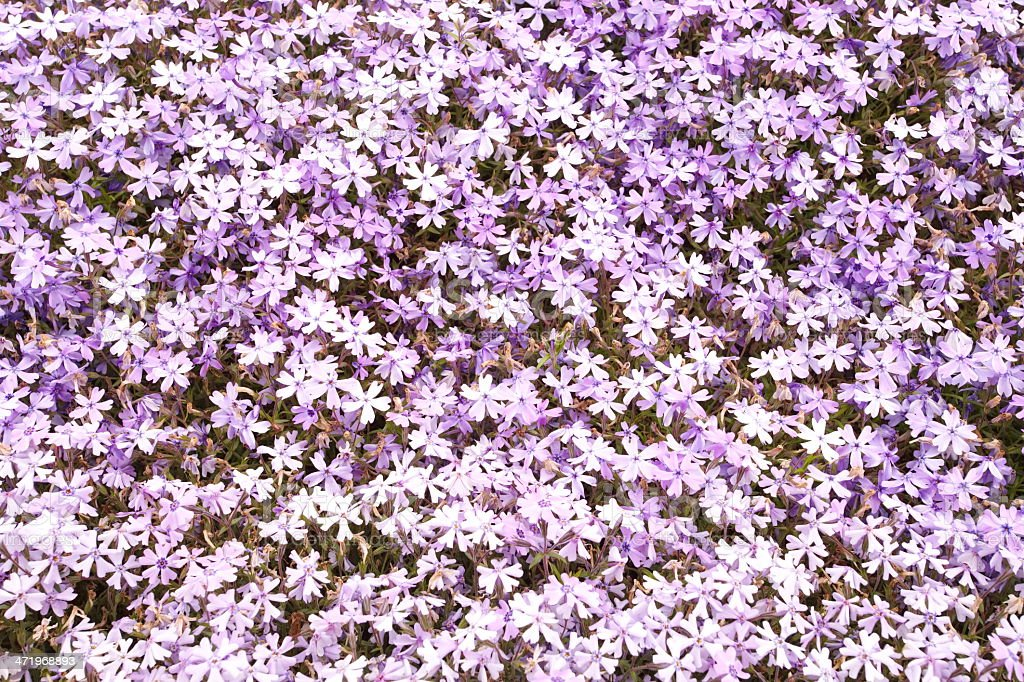 colorful pink moss phlox as background stock photo