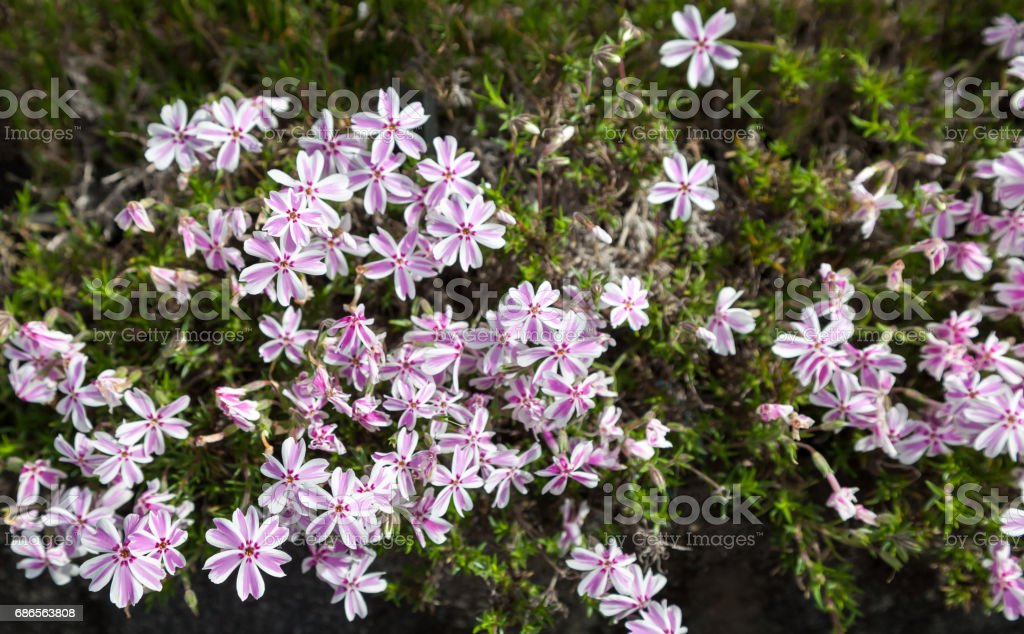 colorful pink moss phlox as background., Pink Moss Flower zbiór zdjęć royalty-free