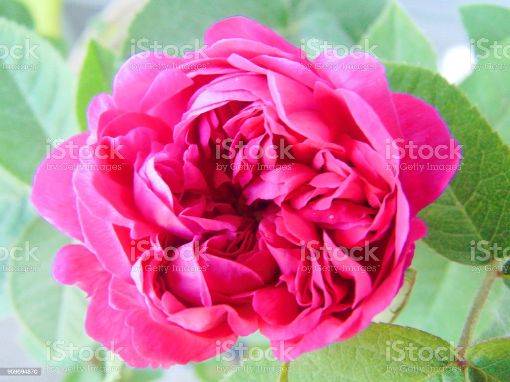 Colorful pink rose. stock photo