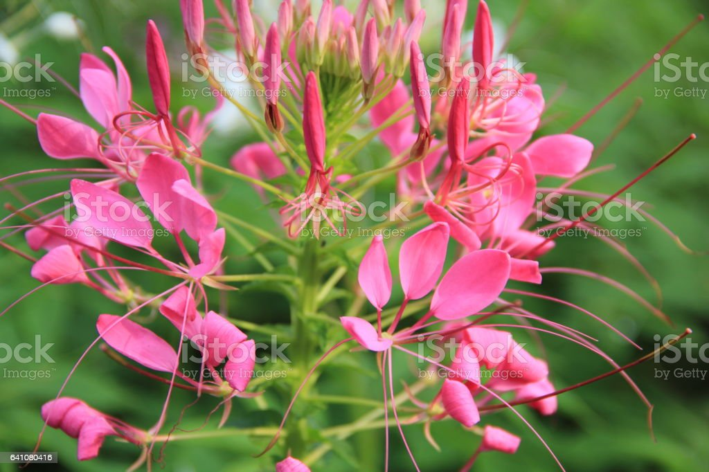Colorful pink spider flower stock photo