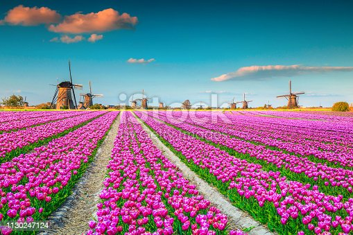 Famous travel and touristic destination. Majestic colorful tulip fields with traditional old dutch windmills in background, Kinderdijk, Netherlands, Europe