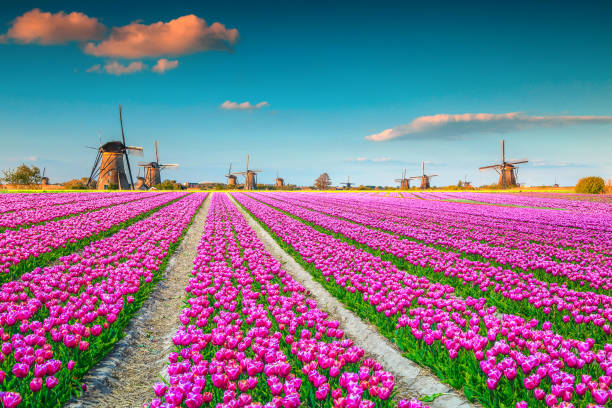 Colorful pink tulip fields and traditional dutch windmills, Kinderdijk, Netherlands stock photo