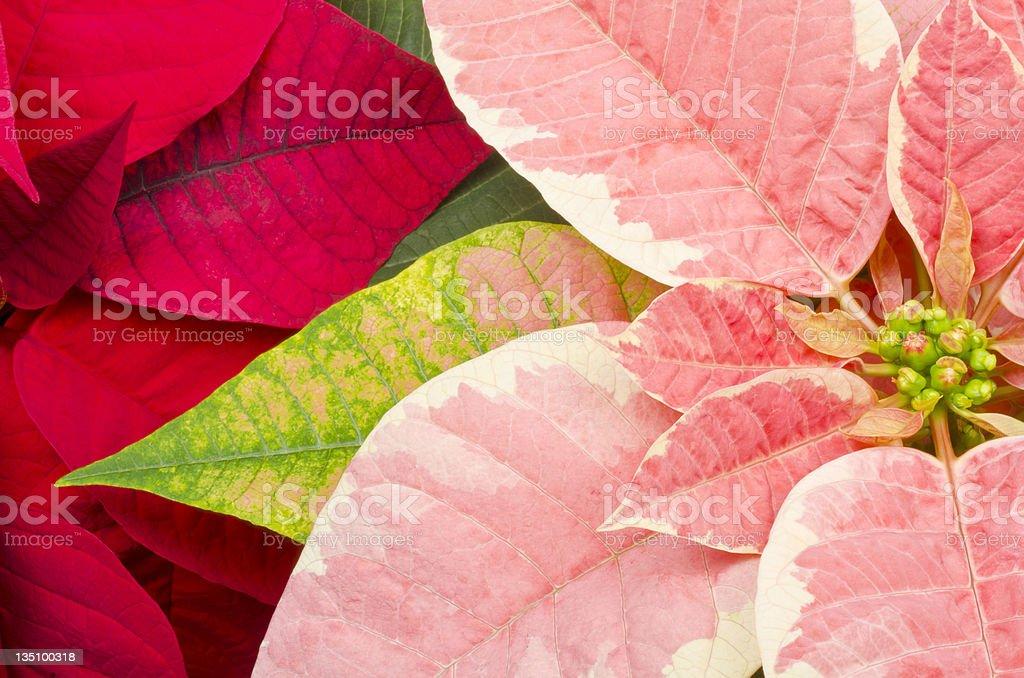 Colorful Poinsettia stock photo