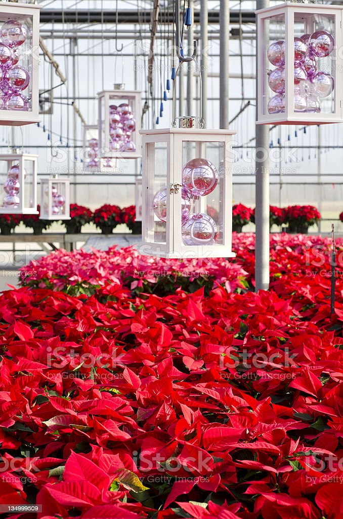 Colorful Poinsettias and Christmas Decorations stock photo