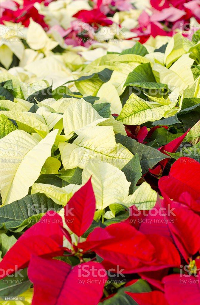Colorful Poinsettias stock photo