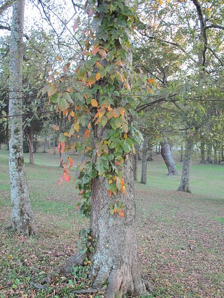 Colorful Poison Ivy Vine, Growing on a Tree Trunk stock photo