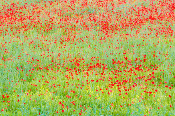 colorful poppies field - impressionist painting stock photos and pictures