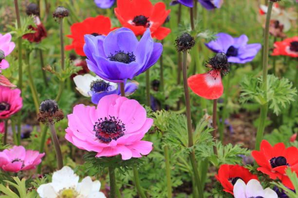 Colorful poppy anemone flower picture id924301542?b=1&k=6&m=924301542&s=612x612&w=0&h= 3uvzwmzi4o9slst 2axtgxewu8olgtennx6u9uw7go=