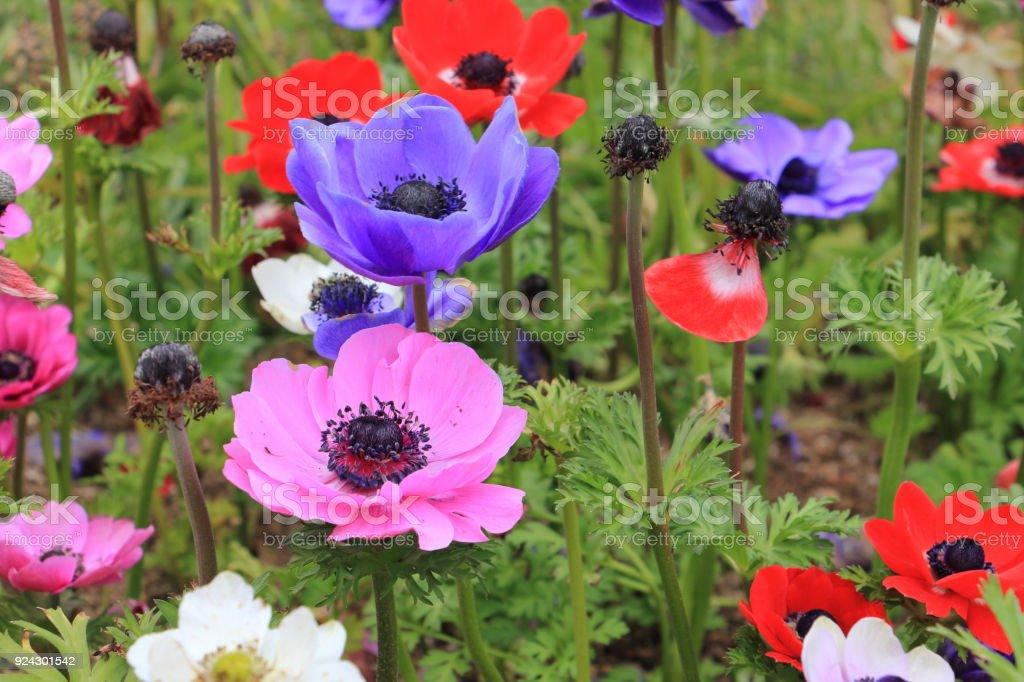 Colorful poppy anemone flower(Anemone Coronaria) stock photo