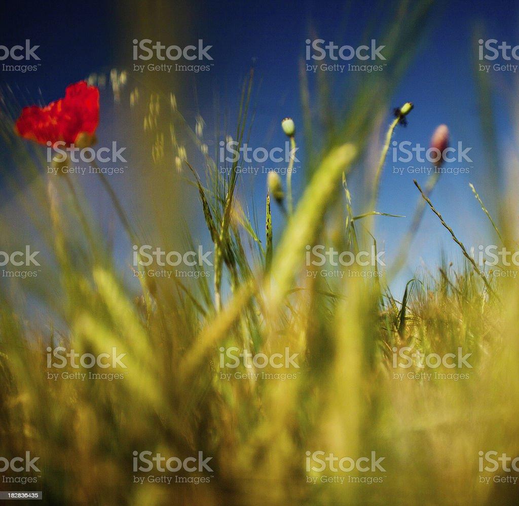 colorful poppy field stock photo