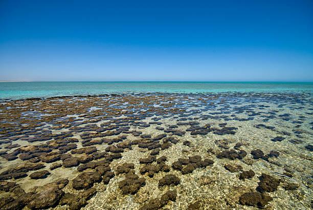 Stromatolites im Shark Bay – Foto
