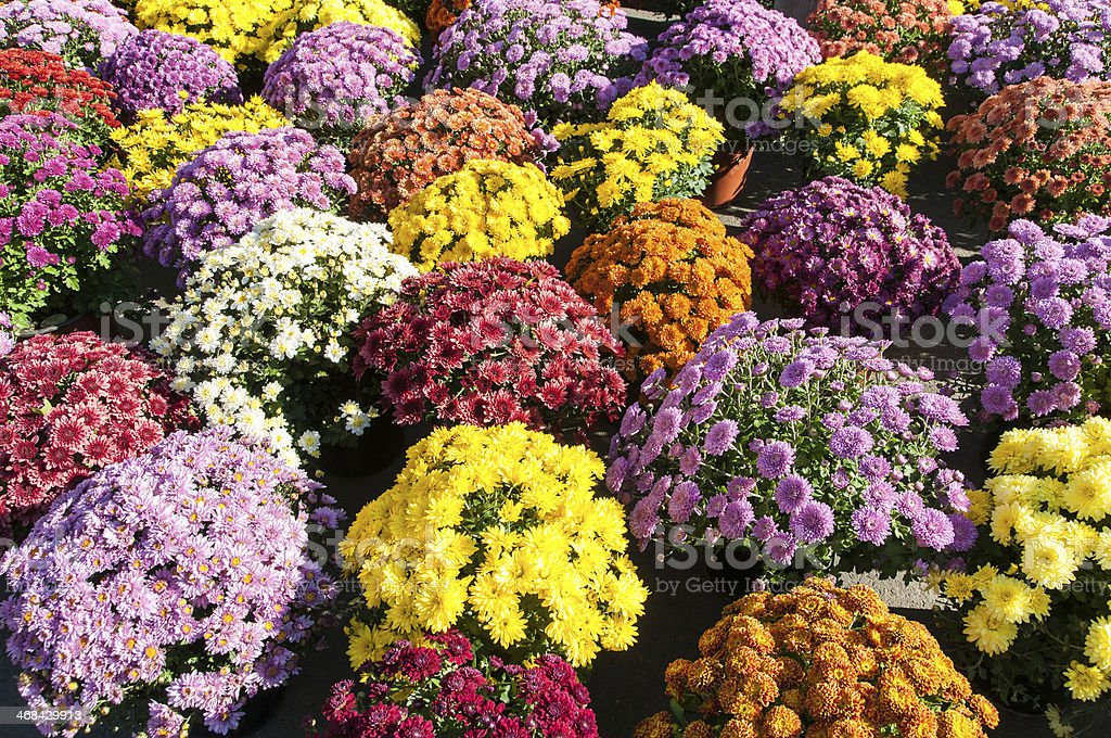 Colorful potted chrysanthemums smiling in the late summer afternoon sunshine stock photo