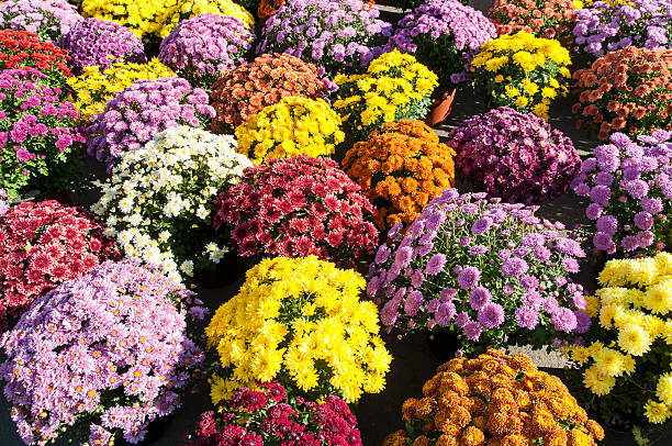 colorful potted chrysanthemums smiling in the late summer afternoon sunshine - chrysant stockfoto's en -beelden