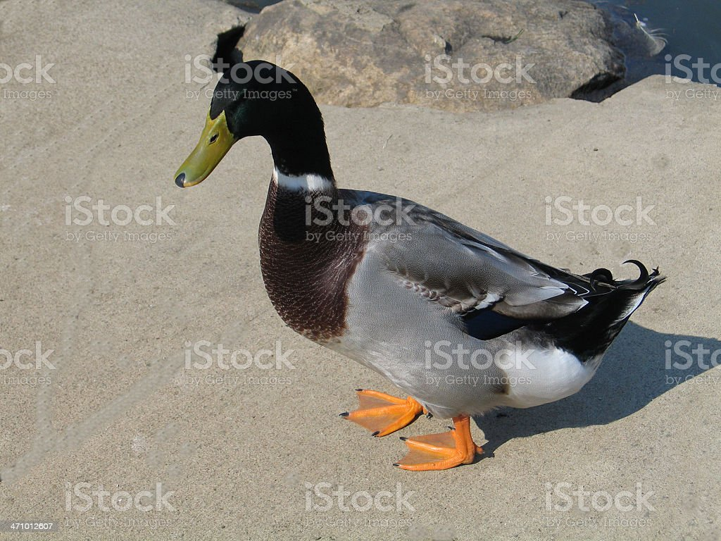 Colorful Pretty Mallard Duck royalty-free stock photo