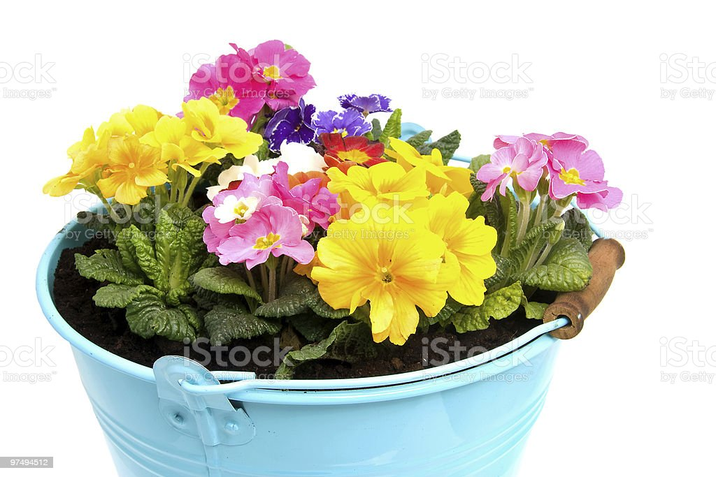 colorful primula flower royalty-free stock photo