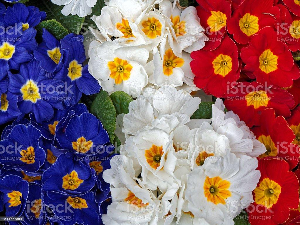 colorful primula - tricolor stock photo