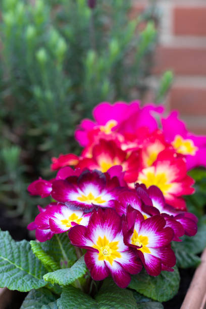 Colorful Primulas in flower pot outdoor Colorful  Primulas in flower pot outdoor primula stock pictures, royalty-free photos & images