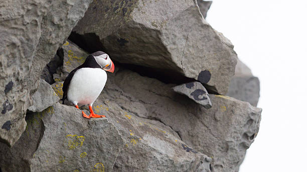 Colorful Puffin isolated in natural environment Colorful Puffin isolated in natural environment in Iceland auk stock pictures, royalty-free photos & images