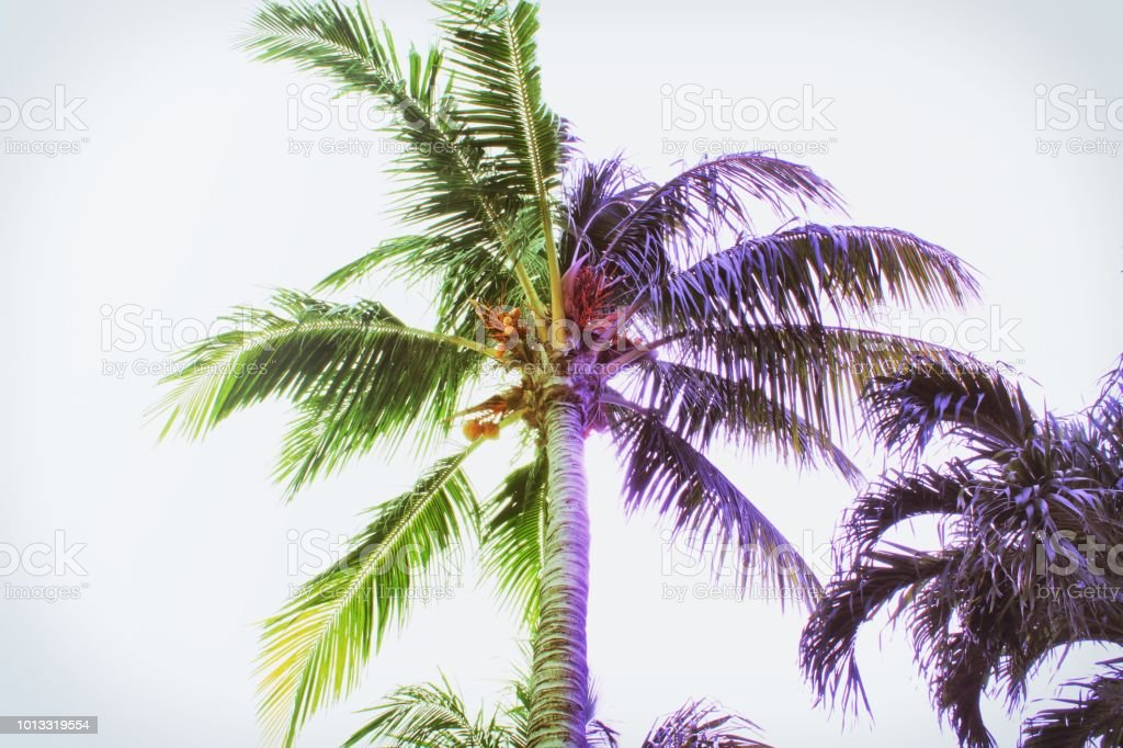 Colorful Purple and Green Palm Trees in Miami. stock photo