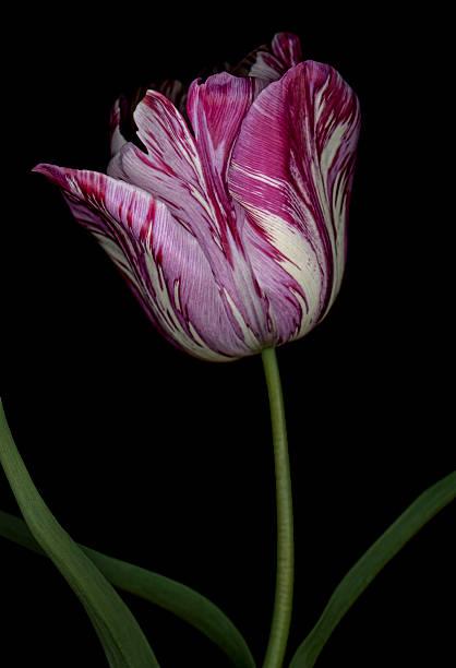 bunte lila gestreift tulpe isoliert auf ein schwarzer hintergrund - blumenstreifen stock-fotos und bilder