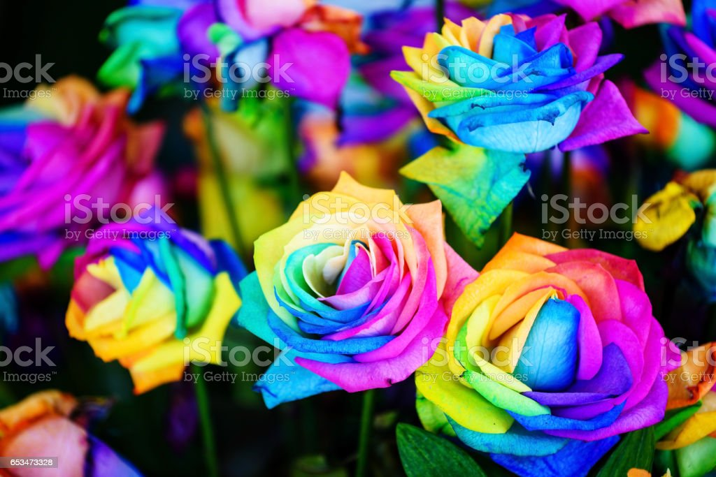 colorful rainbow roses – Foto