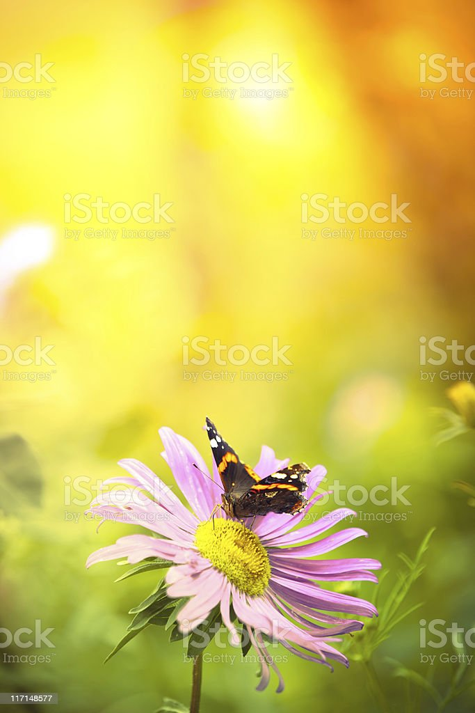 Colorful Red Admiral butterfly pollinating wildflower stock photo