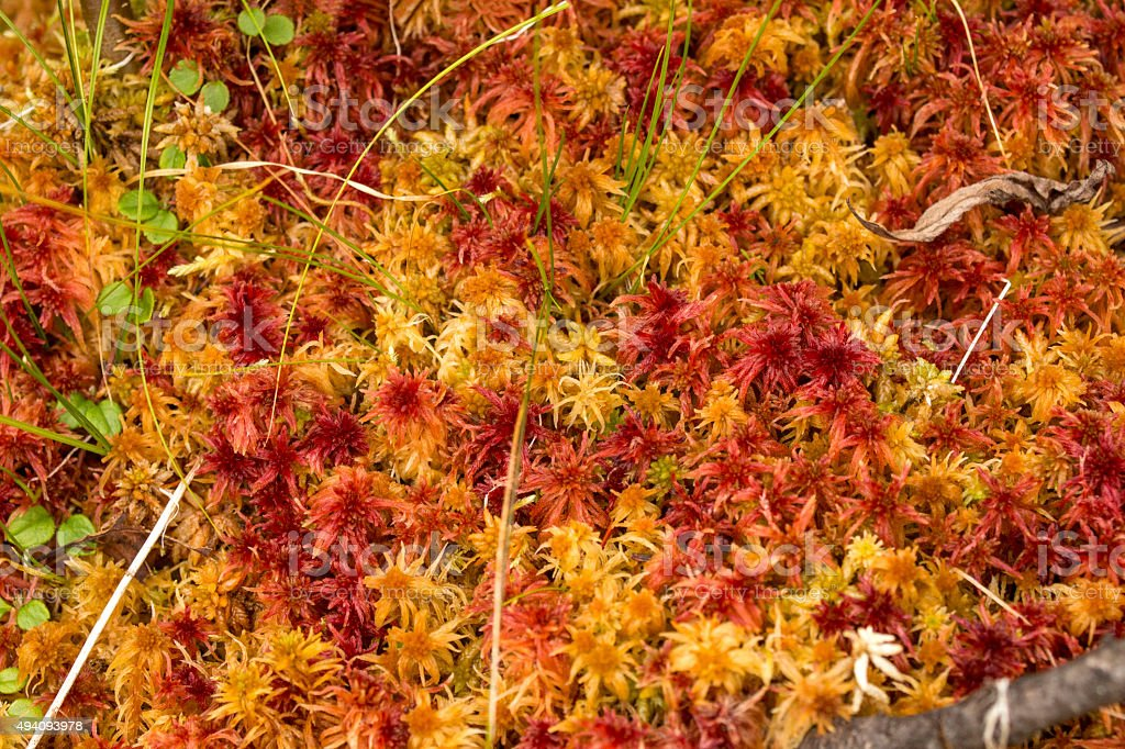 Colorful red and orange peat moss in a Maine bog. stock photo