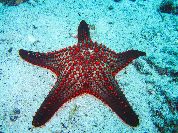 a colorful red cushion sea star on galapagos islands - immerse in the stars foto e immagini stock