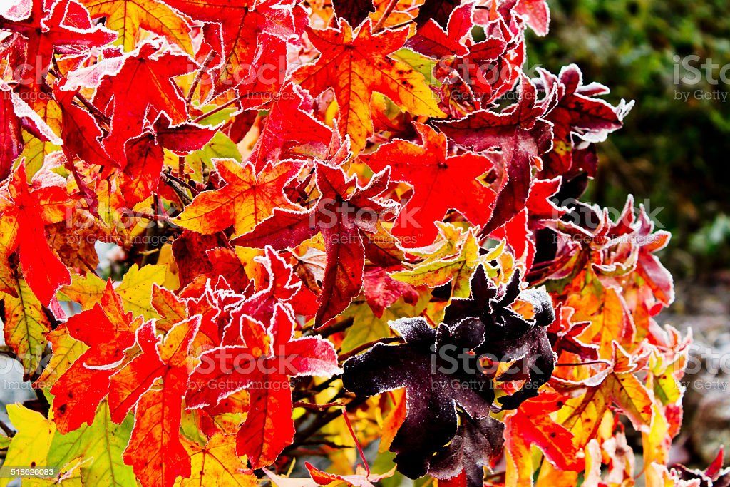 Colorful red gum tree foliage covered with hoarfrost stock photo