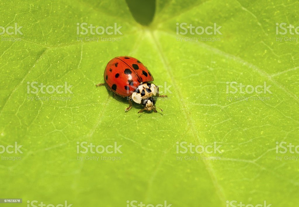Coccinelle rouge coloré sur Feuille verte photo libre de droits