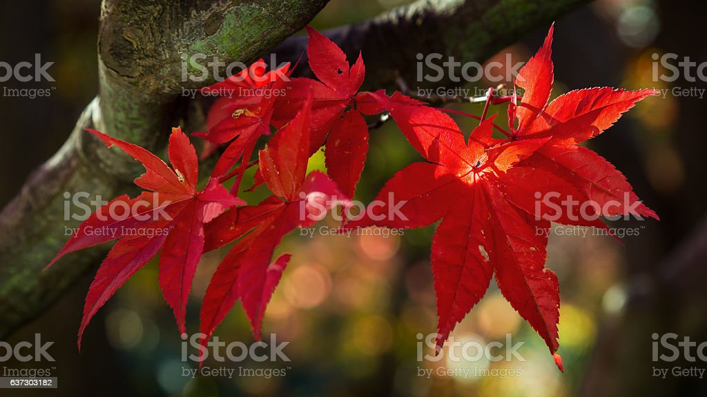 Colorful Red Maple Leaves in AUtumn stock photo