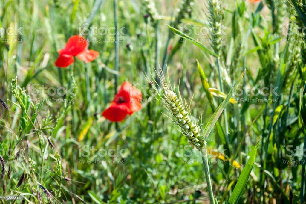 Colorful red poppy flowers in the meadow - Royalty-free Abstract Stock Photo