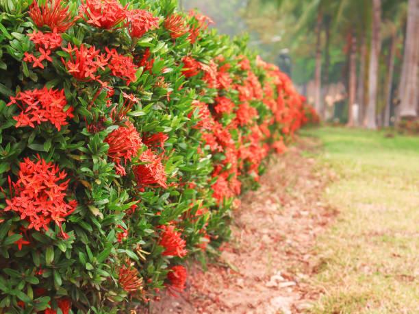 kleurrijke rode spike bloem bloeien in de tuin of ixora zwam sierboom hek - pauwenkers stockfoto's en -beelden