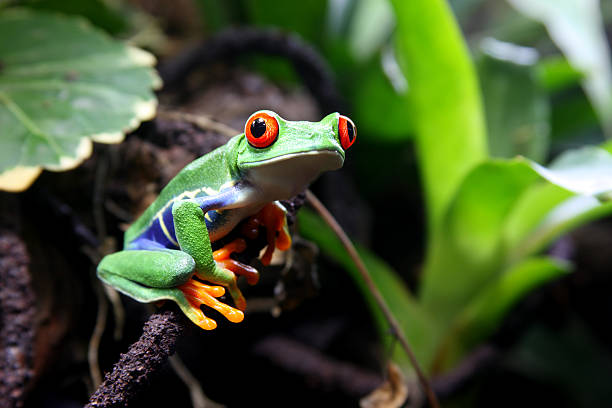 A colorful red-eyed tree frog on a branch in the forest stock photo