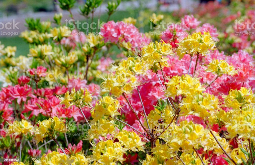Colorful rhododendron flowerbed. Shot on film royalty-free stock photo
