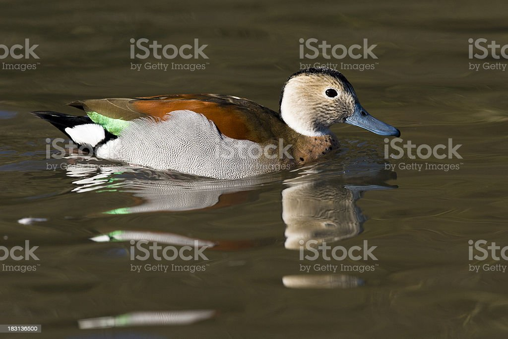 Colorful Ringed Teal Duck stock photo