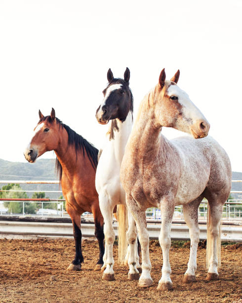 Colorful Rodeo Stock Horses Waiting In Pen In Early Morning Colorful Paint and Quarter horse rodeo stock horses standing and watching from a pen in early morning. paint horse stock pictures, royalty-free photos & images