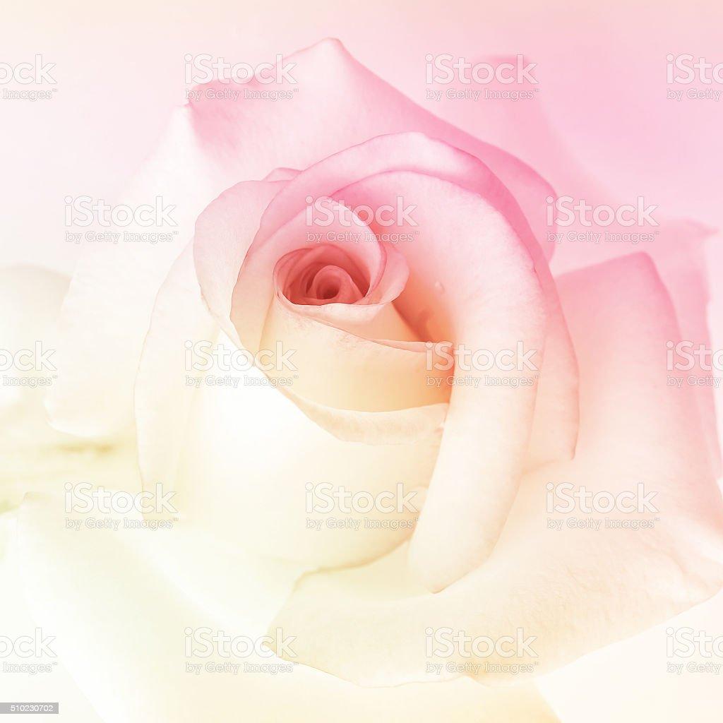 Coloré Rose dans une couleur pour l'arrière-plan - Photo