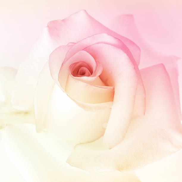 Bunte Rosen in weichen Farben im Hintergrund – Foto