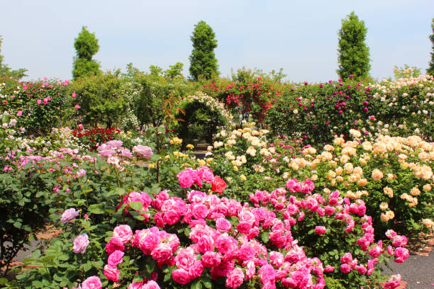 11 563 Rose Garden Stock Photos Pictures Royalty Free Images Istock