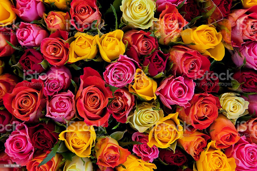 Arrière-plan coloré de roses - Photo