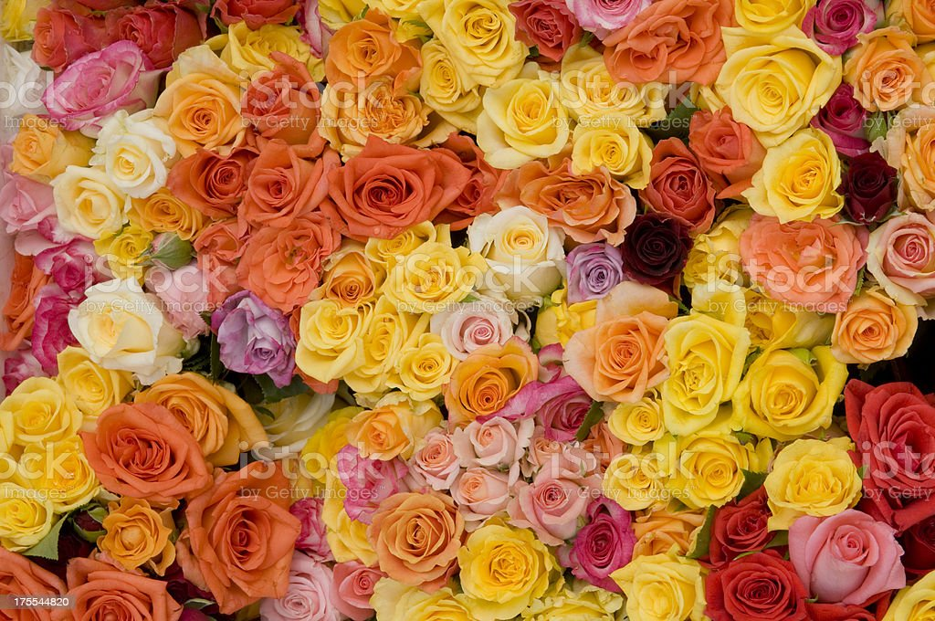 Colorful roses royalty-free stock photo