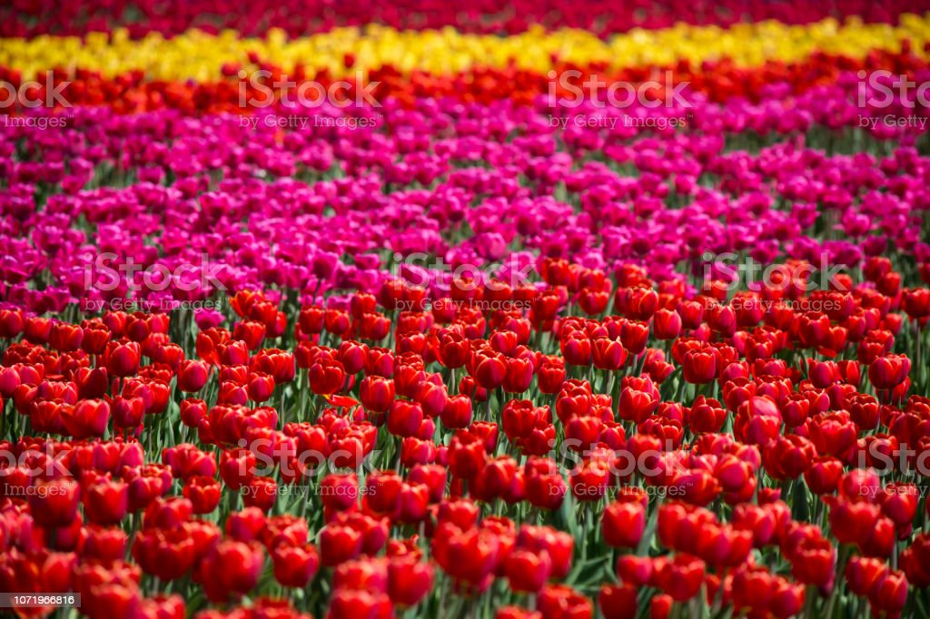 Colorful rows of spring blooming tulips in tulip field stock photo