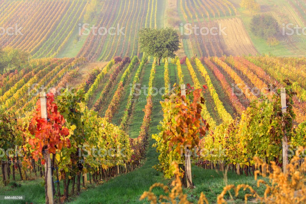 Colorful rows of vineyards in autumn. Green lonely tree In fog among vineyards. Autumn scenic landscape of South Moravia in Czech Republic. stock photo