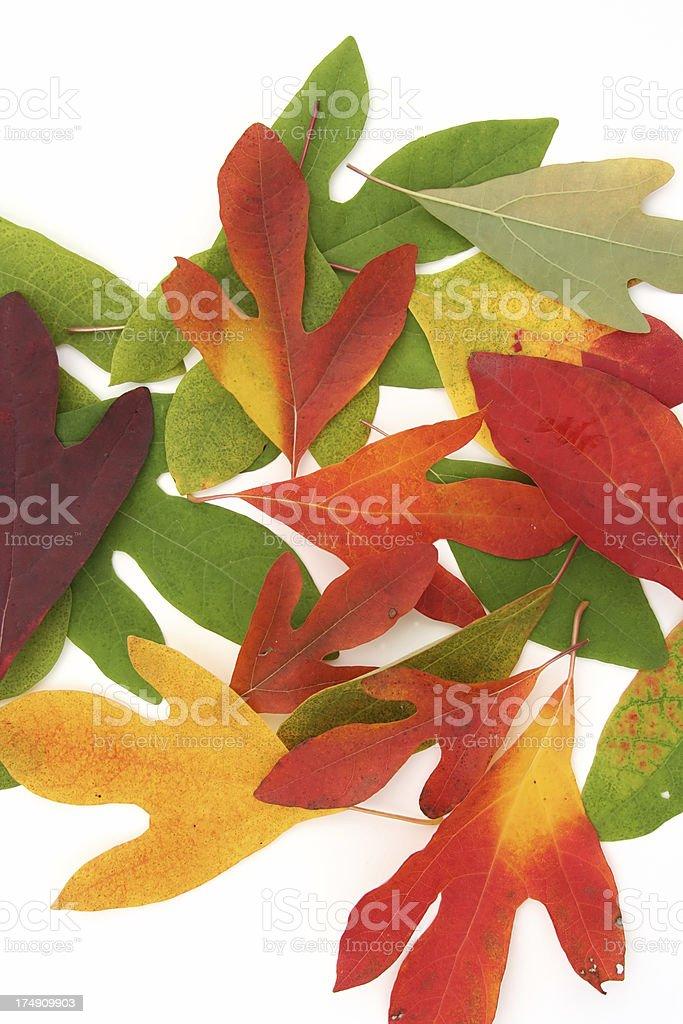 Colorful Sassafras Leaves Autumn Foliage stock photo